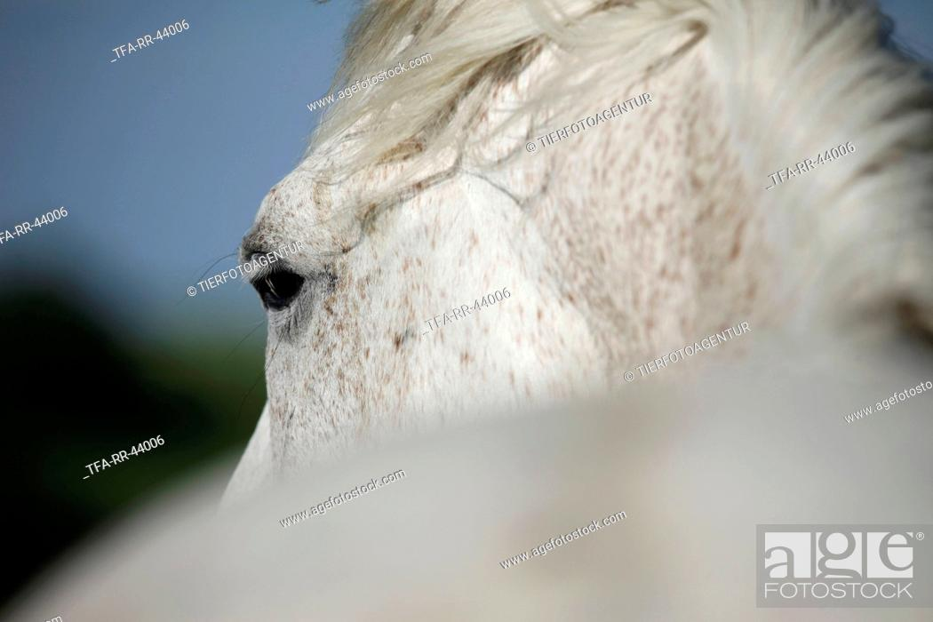 Andalusian horse eye, Stock Photo, Picture And Rights