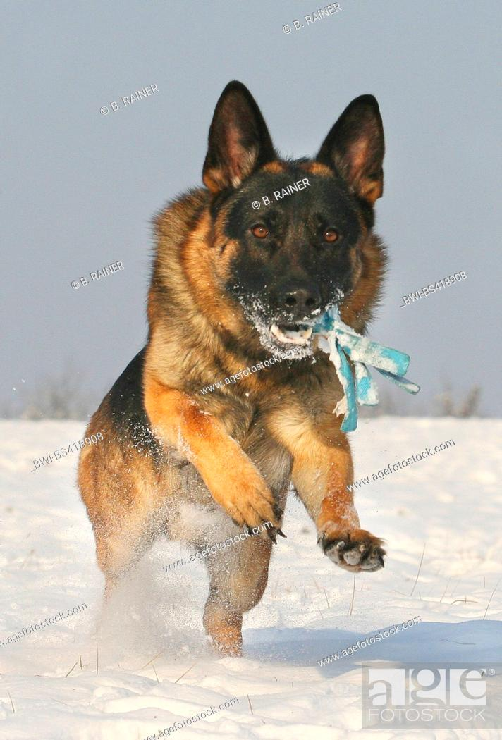 Stock Photo: German Shepherd Dog (Canis lupus f. familiaris), running in snow with a plaything in the snout, front view, Germany.