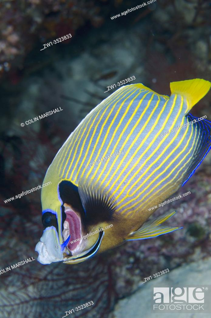 Stock Photo: Emperor Angelfish (Pomacanthus imperator) having gills cleaned by a Bluestreak Cleaner Wrasse (Labroides dimidiatus), Nudi Rock dive site, Misool Island.
