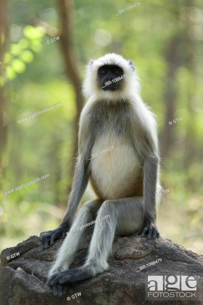 Stock Photo: Hanuman Langur or common Langur (Semnopithecus entellus), male, Pench National Park, Madhya Pradesh, India.