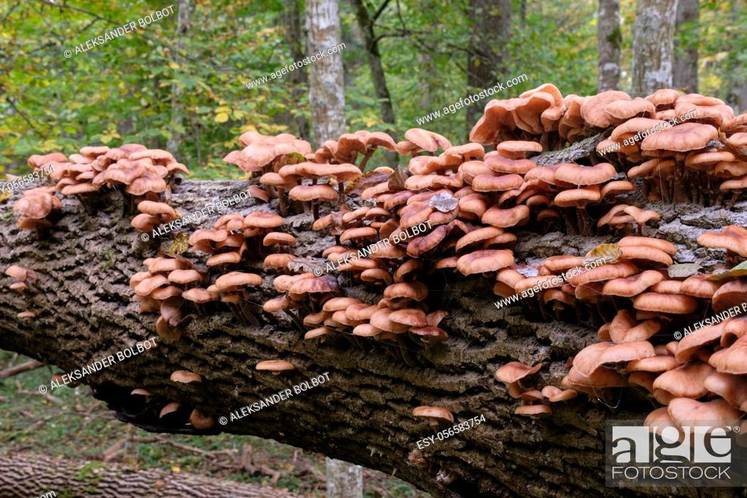 Stock Photo: Bunch of autumnal Honey Fungus(Armillaria Mellea) grows over mossy stump, Bialowieza Forest, Poland, Europe.
