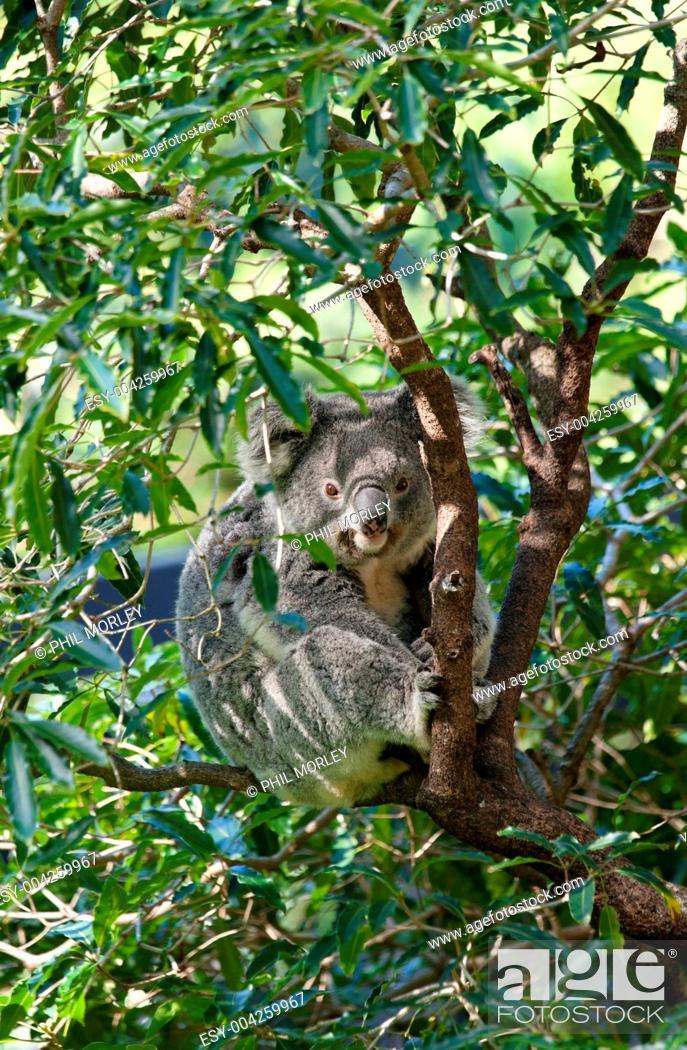 Stock Photo: australian koala in a tree.