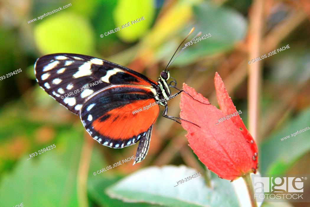Stock Photo: Isabella's Longwing (Eueides isabella), Costa Rica.