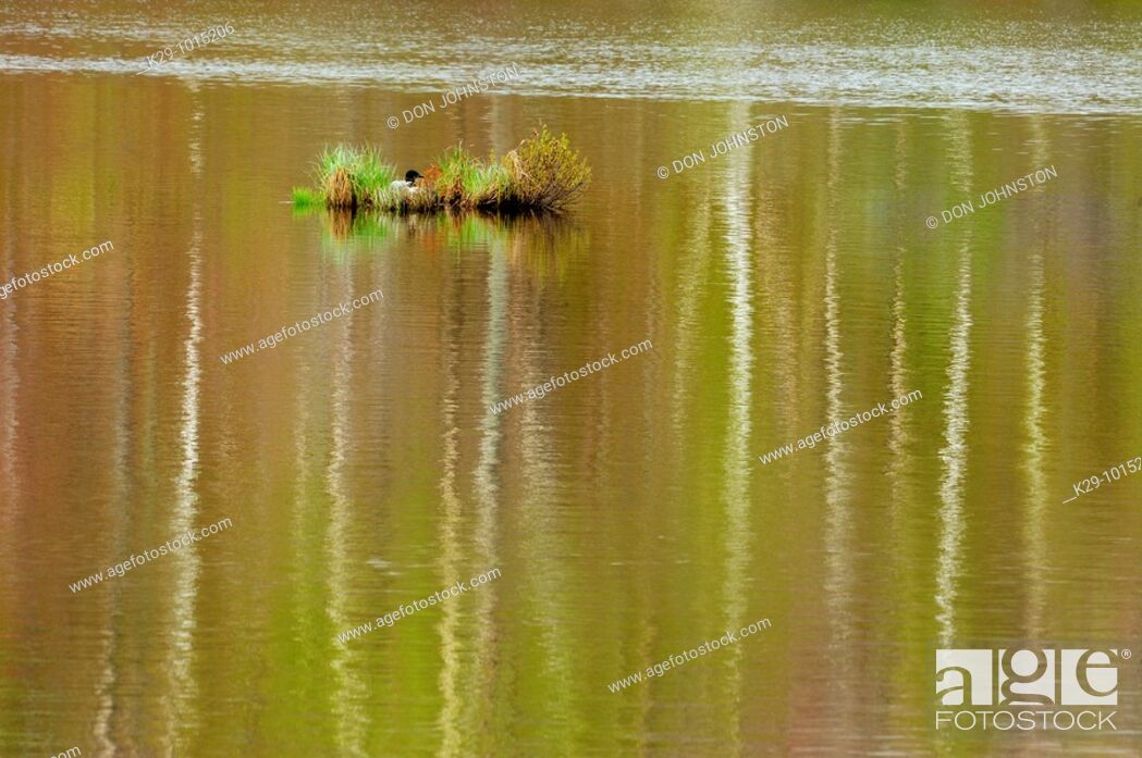 Stock Photo: Common loon Gavia immer near nest in beaver pond with spring reflections.