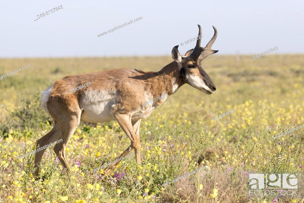Stock Photo: Central America, Mexico, Baja California Sur, Baja California Desert National Park., Guerrero Negro, Baja California pronghorn or peninsular pronghorn.