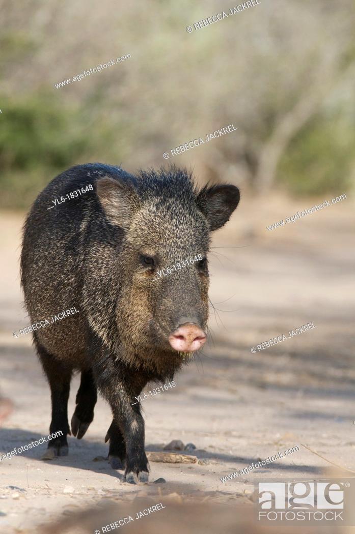 Stock Photo: Javelina or collared peccary in Texas.