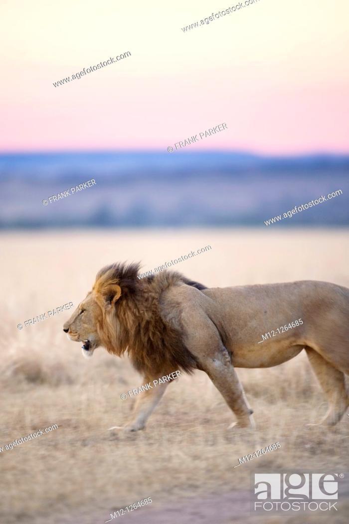 Stock Photo: Male Lion in the Masai Mara.