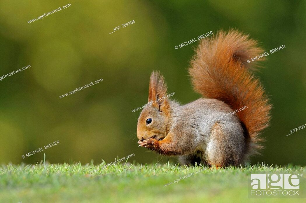 Stock Photo: Red squirrel, Sciurus vulgaris, Germany.