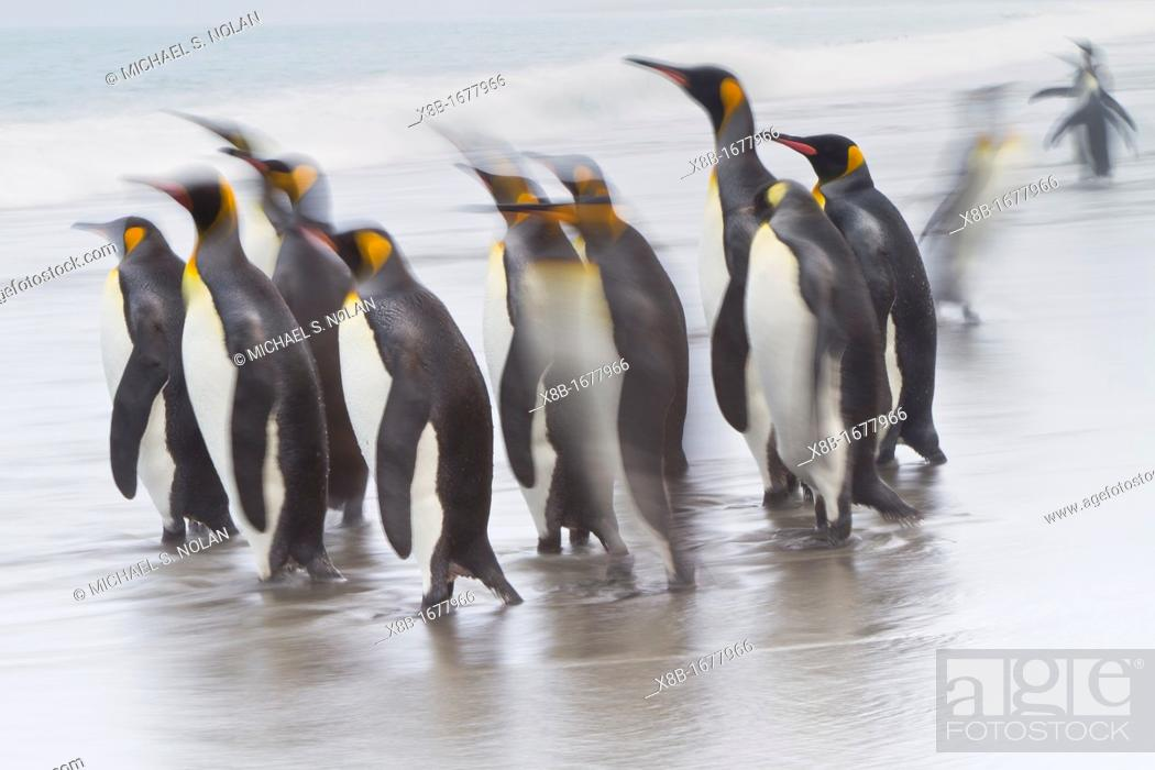 Stock Photo: Creative motion blur image of adult king penguins Aptenodytes patagonicus returning to the sea from the nesting and breeding colony at Salisbury Plain on South.
