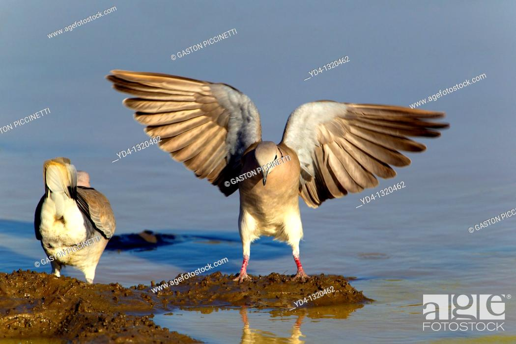 Stock Photo: Cape Turtle-Doves Streptopelia capicola, in the waterhole, Kruger National Park, South Africa.