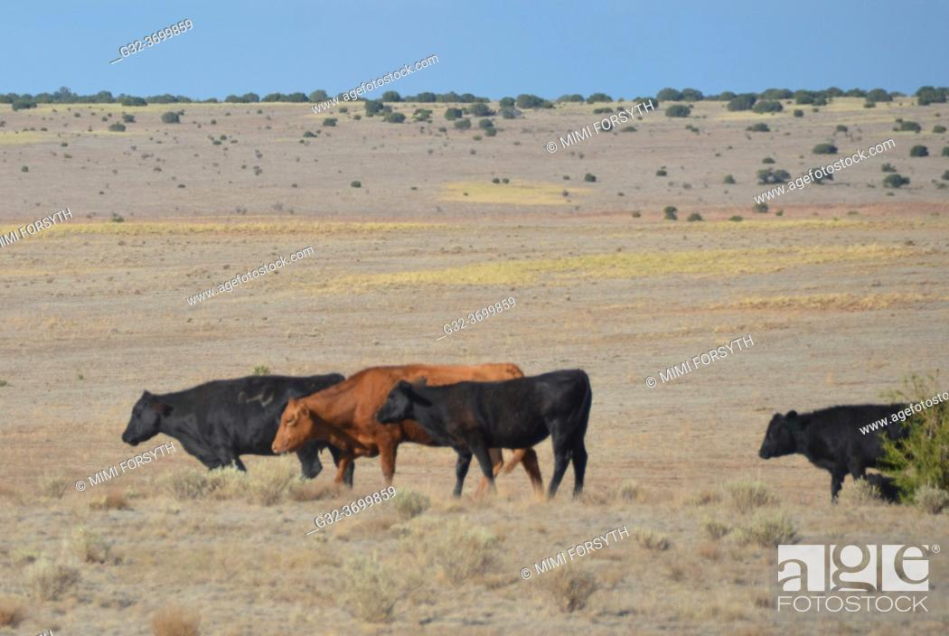 Stock Photo: cattle on open range, New Mexico, rejoining their herd.