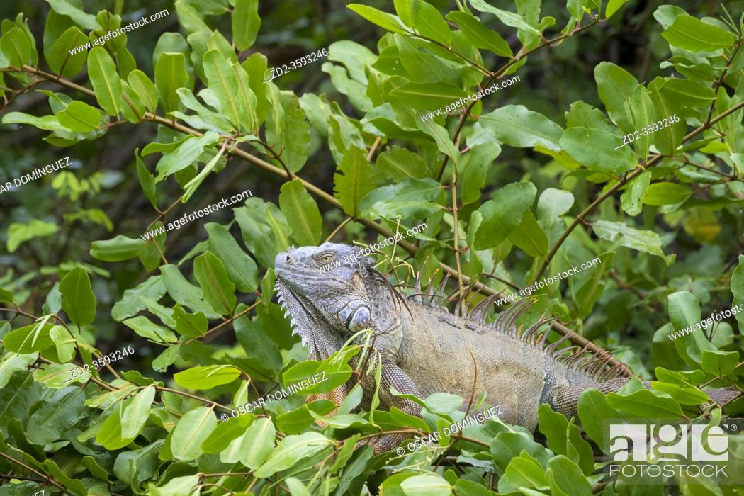 Stock Photo: Green iguana (Iguana iguana) male perched on vegetation. Palo Verde National Park. Guanacaste Province. Costa Rica.
