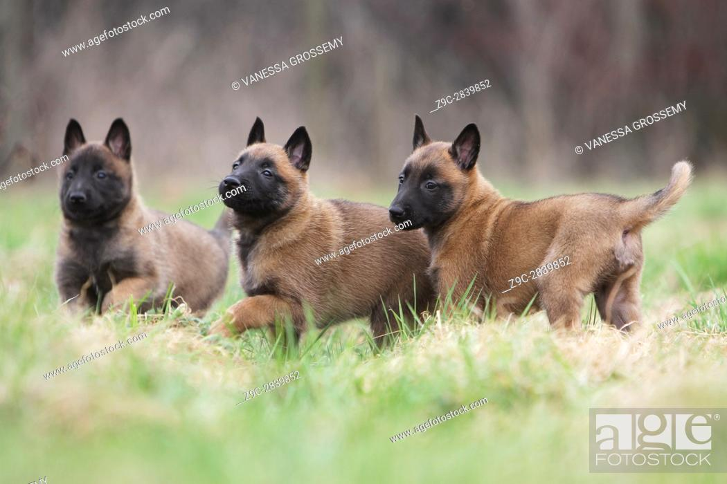 Stock Photo: Dog Belgian shepherd Malinois.