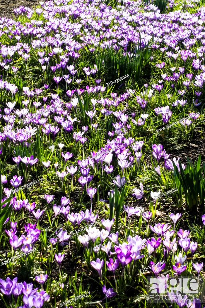 Imagen: spring crocuses Montrose. Scotland UK.