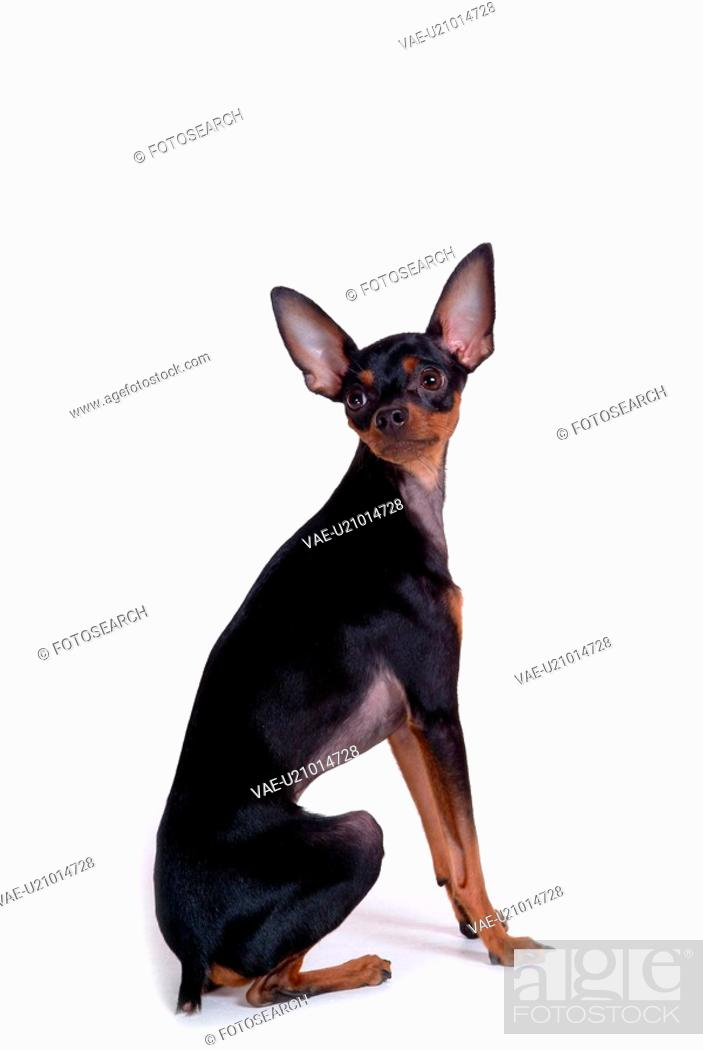Stock Photo: house pet, domestic, cute, loving, canines, miniature pinscher.