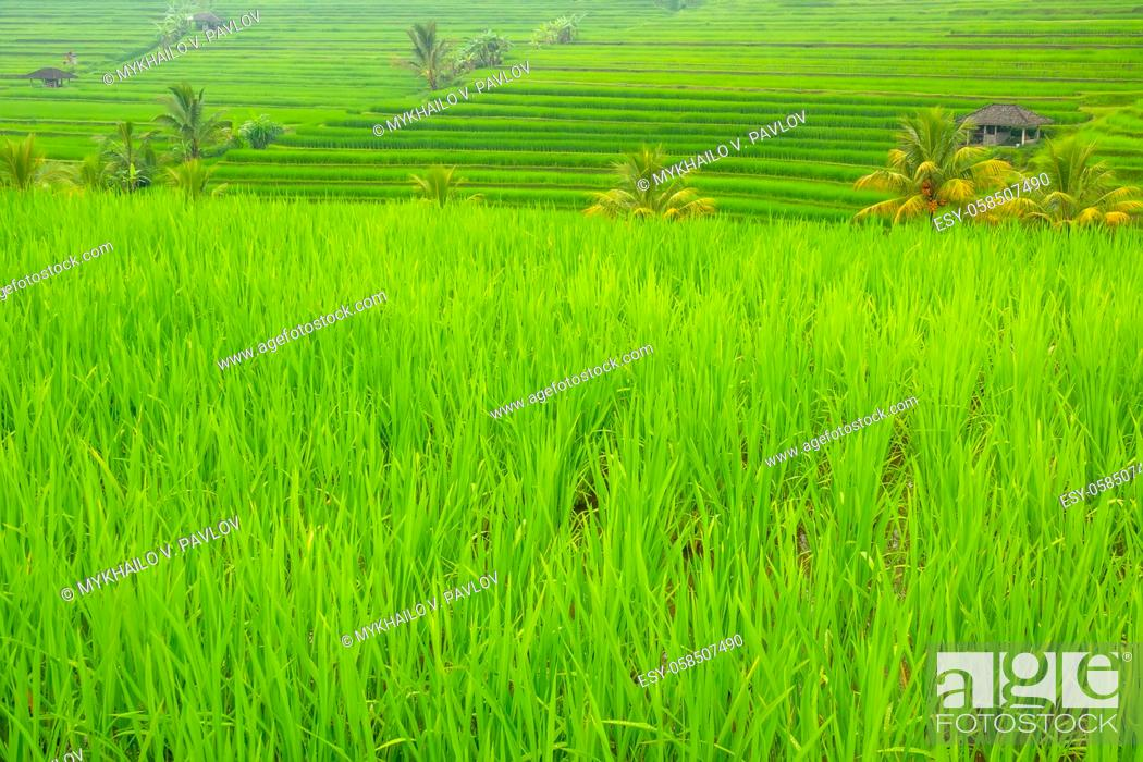 Imagen: Indonesia. Terraces of rice fields with a young piglet. Huts and palm trees.