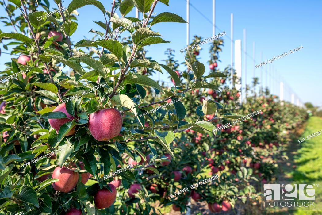 Imagen: Apple orchard during apple harvesting.