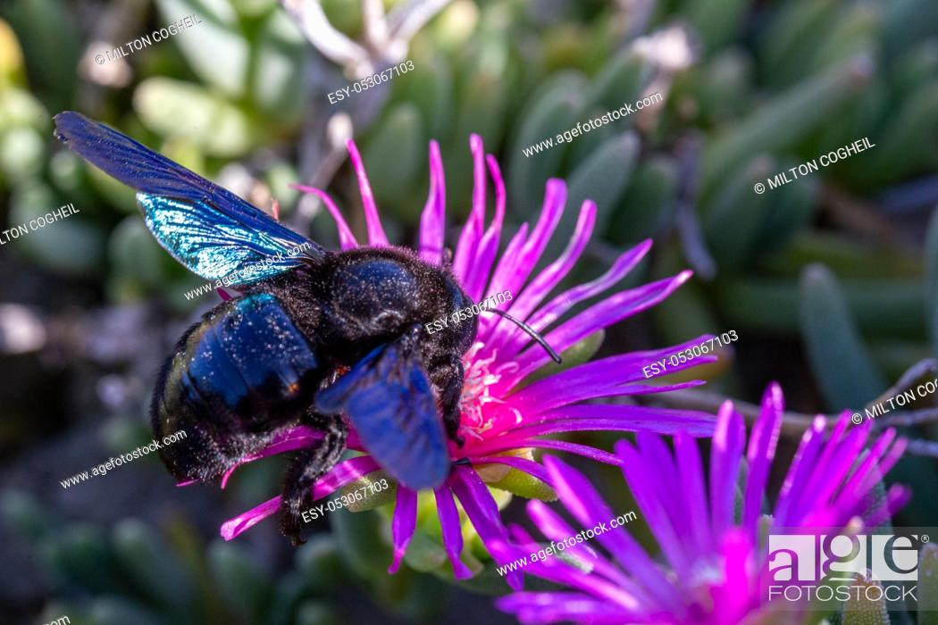 Stock Photo: Violet Carpenter bee (Xylocopa violacea) feeding on nectar from the pink flowers of Carpobrotus succulent plants in Tuscany, Italy.