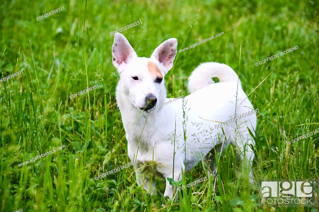 Stock Photo: jack Russell dog free spirit.