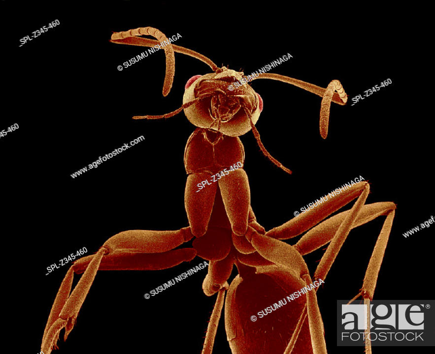 Stock Photo: Ant. Coloured scanning electron micrograph (SEM) of an unidentified ant (family Formicidae). Ants are social insects. They live in groups that range from a few.
