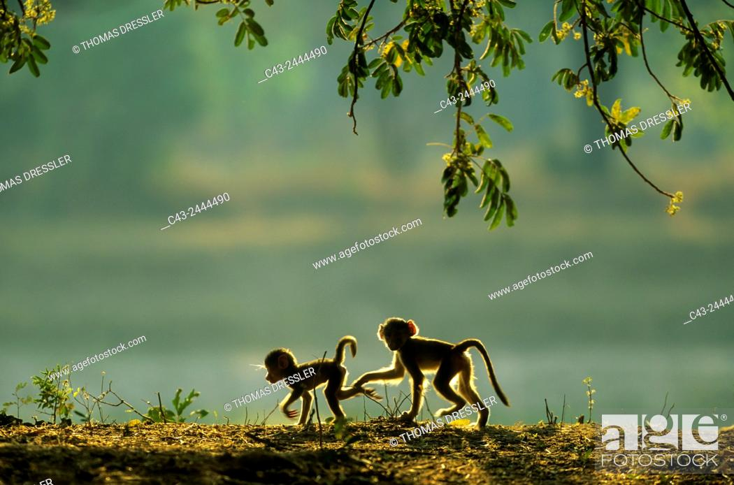 Stock Photo: Yellow Baboon (Papio cynocephalus) - Two playful young in the early morning. South Luangwa National Park, Zambia.
