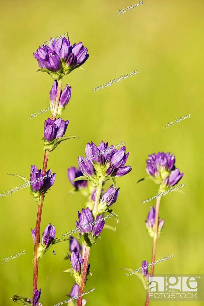 Stock Photo: Close up of three flower spikes of wild growing clustered bellflowers (Campanula glomerata) in June. Kaluga Region, Russia.