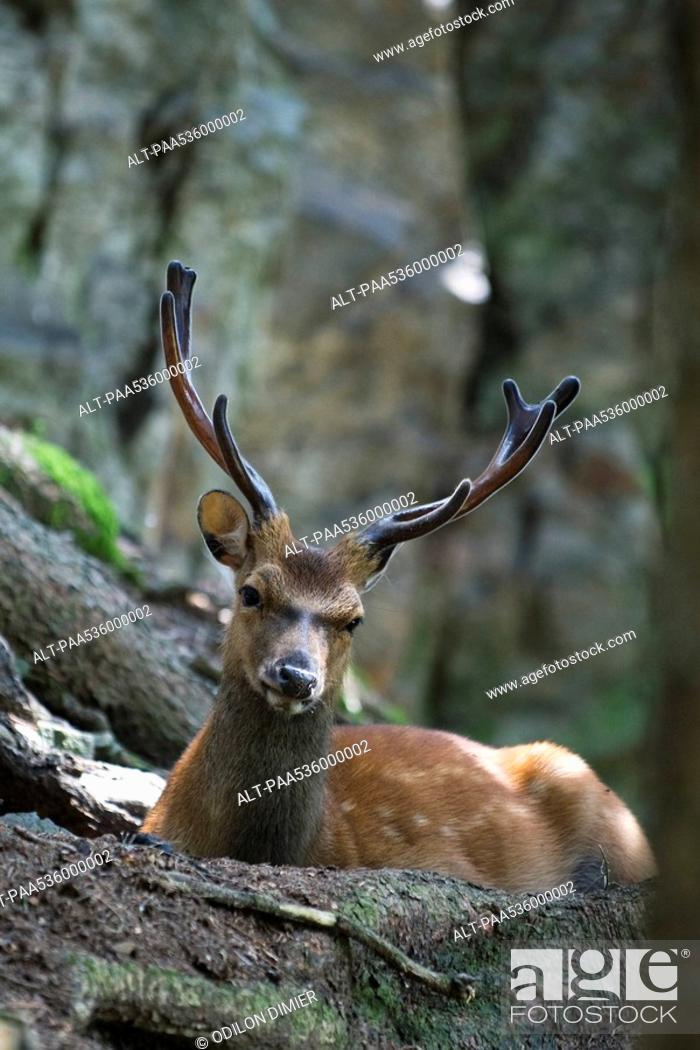 Stock Photo: Buck looking at camera.