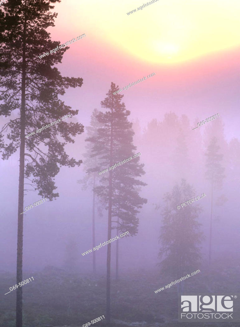 Stock Photo: A misty morning with pinetrees (Pinus sylvestris) and sunrise Djupsund. Vasterbotten. Sweden.