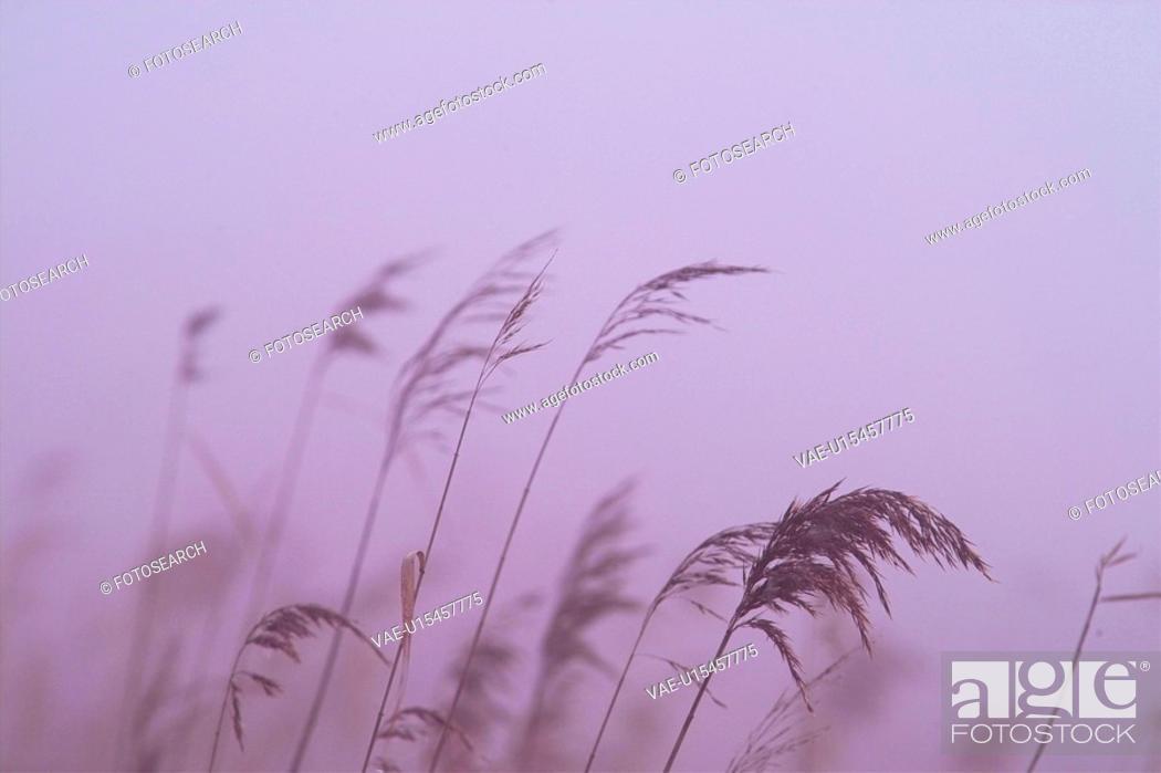 Stock Photo: grass, scenery, plants, eulalia, plant, grasses, nature.
