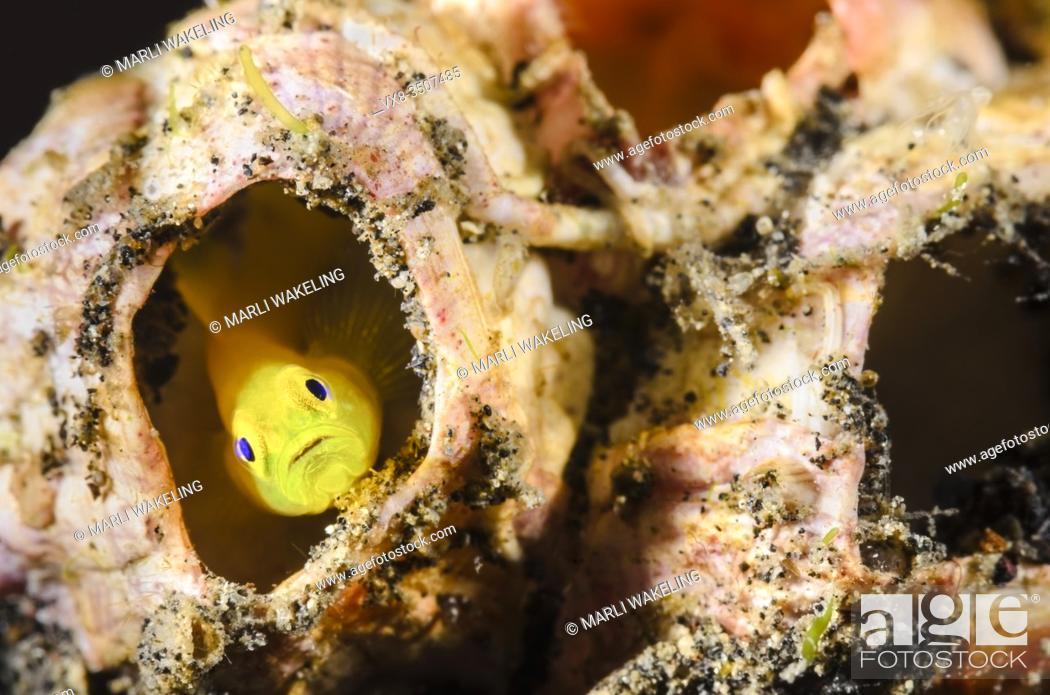 Stock Photo: Yellow pygmy goby, Lubricogobius exiguus, Lembeh Strait, North Sulawesi, Indonesia, Pacific.
