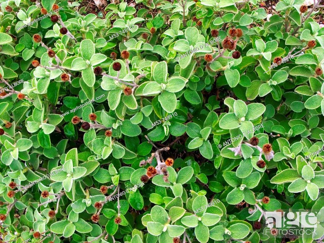 Stock Photo: Shrub of cistus (Cistus incanus) in the national park of Circeo, province of Latina, Lazio, Italy.