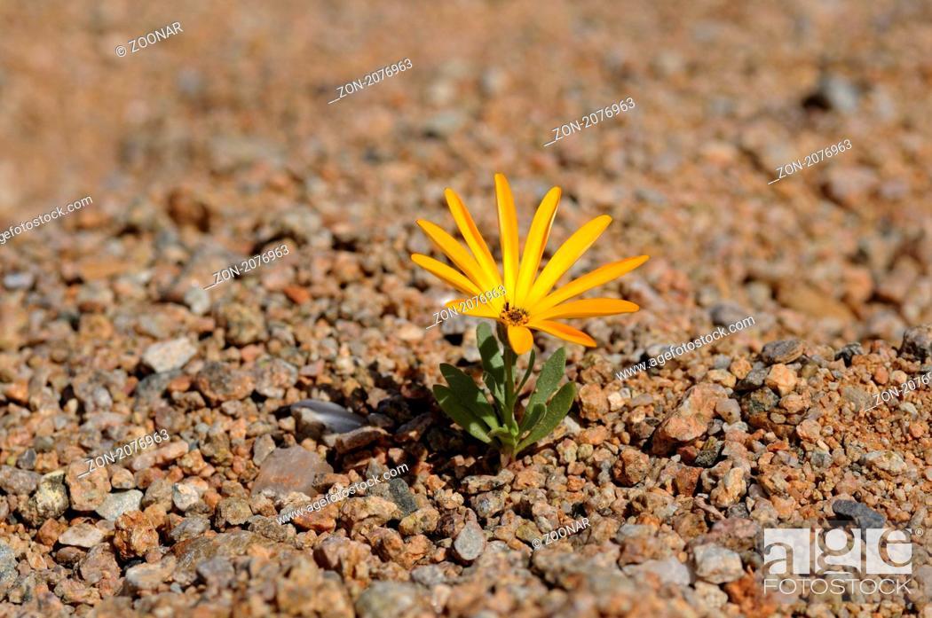 Stock Photo: Arctotis sp., Richtersveld Nationalpark, Südafrika / Arctotis sp., Richtersveld Transfrontier National Park, South Africa.