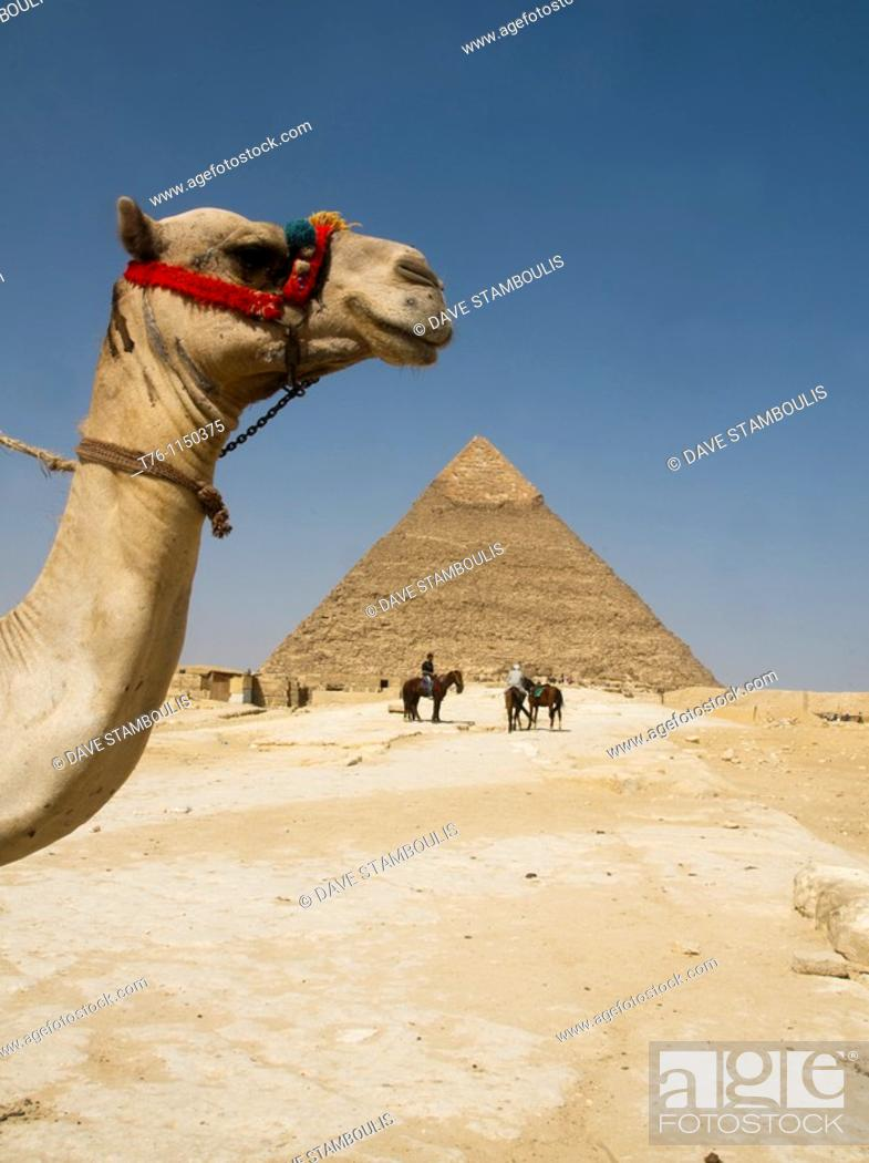 Stock Photo: camel in the desert at the Great Pyramids of Giza in Cairo Egypt.