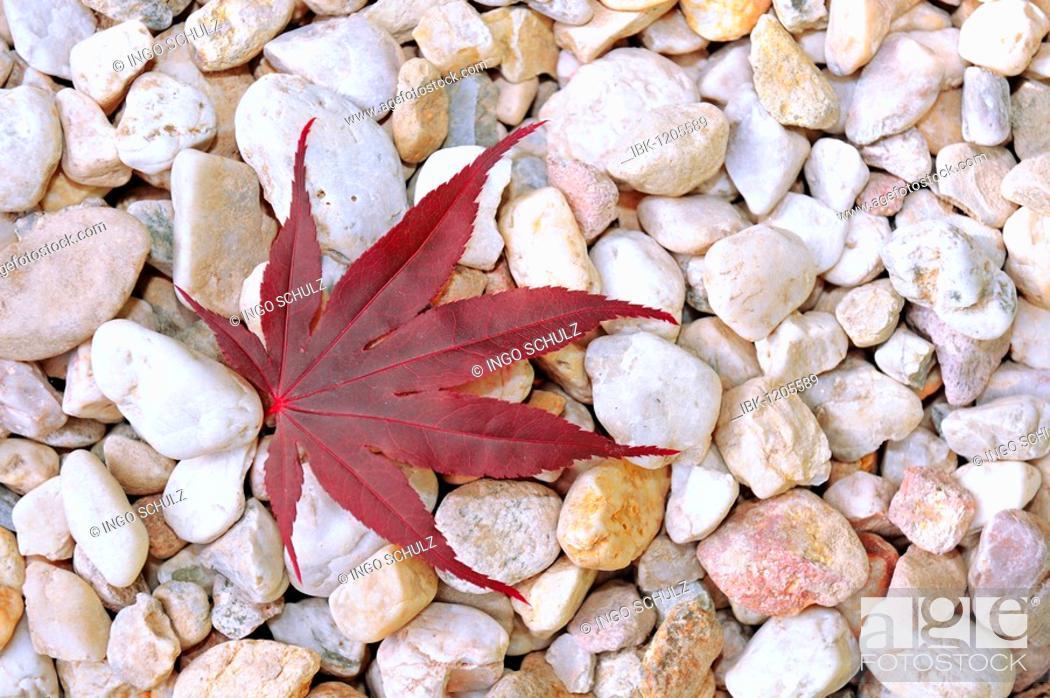 Stock Photo: Leaf of a Japanese Maple (Acer palmatum), lying on pebbles.