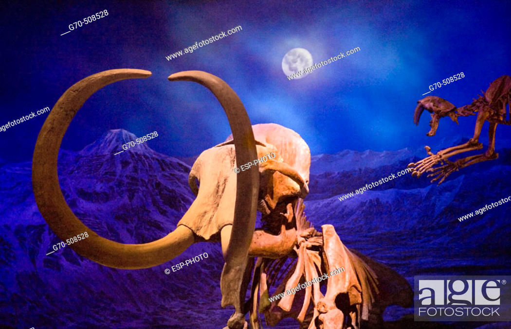 Stock Photo: Wooly mammoth skeleton and sabre-tooth tiger.