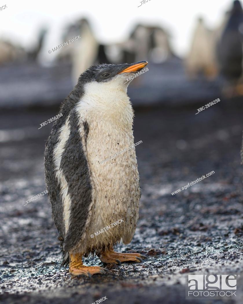 Stock Photo: Gentoo Penguin (Pygoscelis papua), Falkland Islands. Chick. South America, Falkland Islands, January.