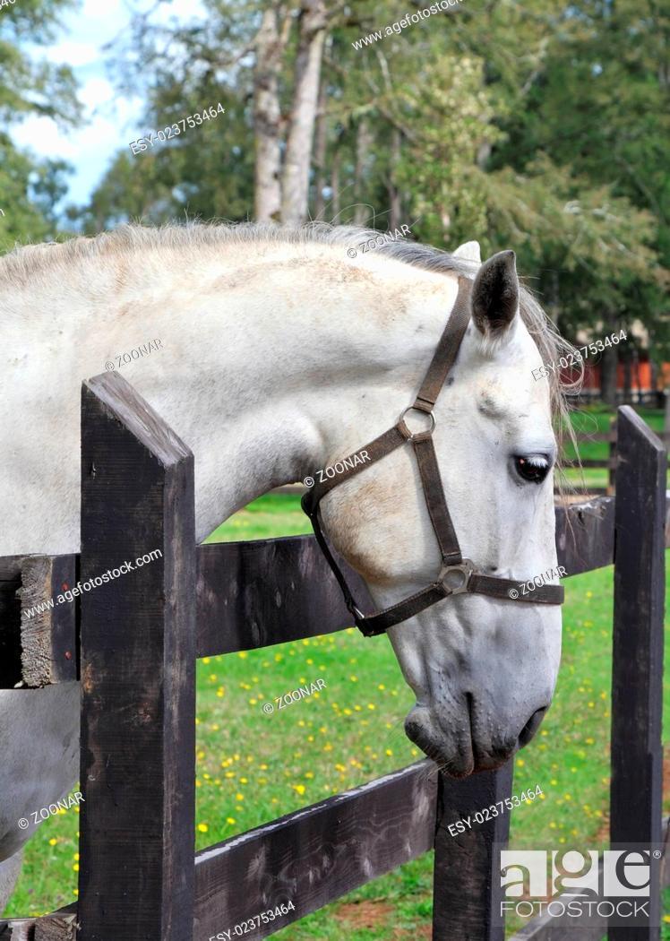 Stock Photo: Thoroughbred horse.