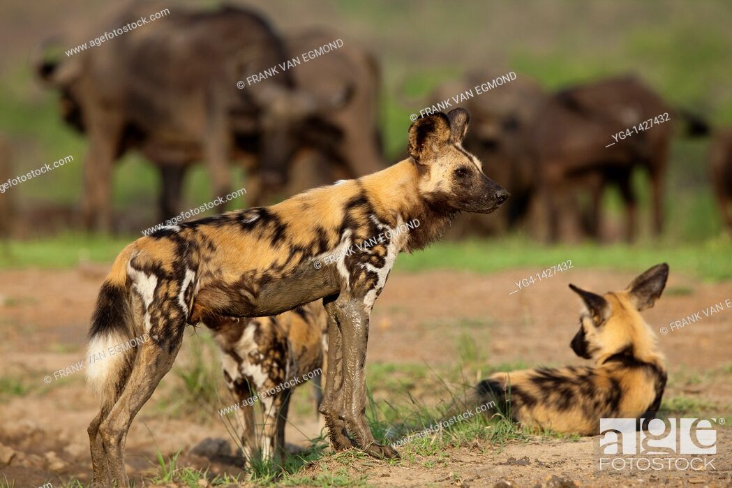 Stock Photo: African Wild Dogs Lycaon pictus   Endangered species  At a waterhole with a herd of buffalo in the background   Hluhluwe Imfolozi Game Reserve  Kwazulu-Natal.
