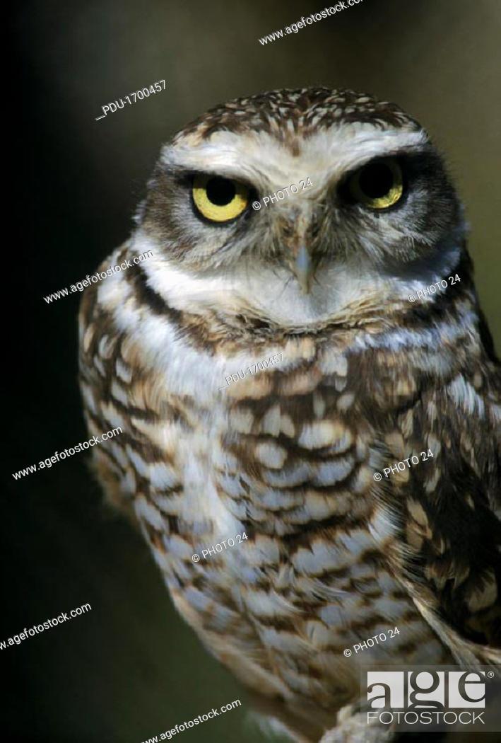 Stock Photo: Burrowing Owl.