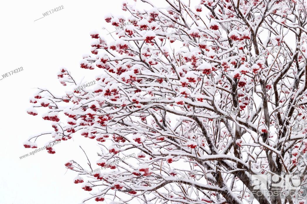 Stock Photo: Winter snow scene in Calgary, Confederation Park, Alberta, Canada.