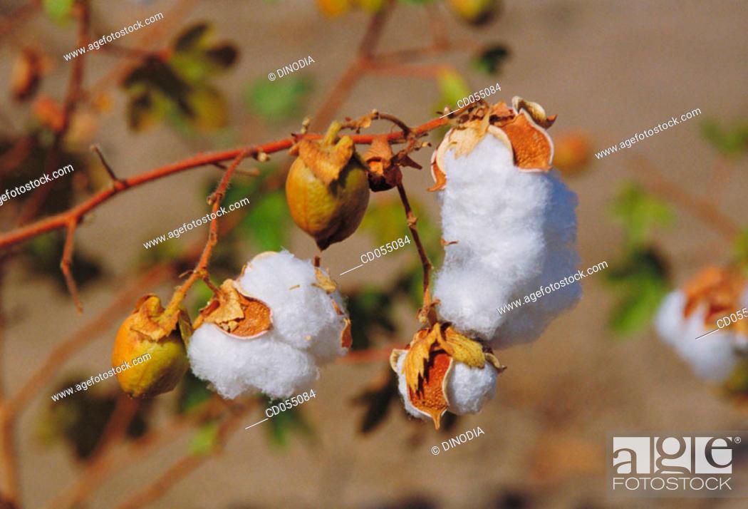 Stock Photo: Cotton.