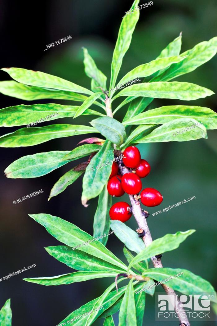 Stock Photo: Mezeron Daphne mezereum with are very toxic red berries - Naturpark Altmuehltal, Bavaria/Germany.
