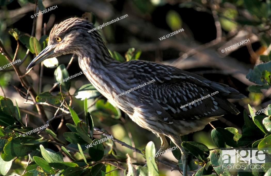 Stock Photo: ardeidae, beak, aves, animals.