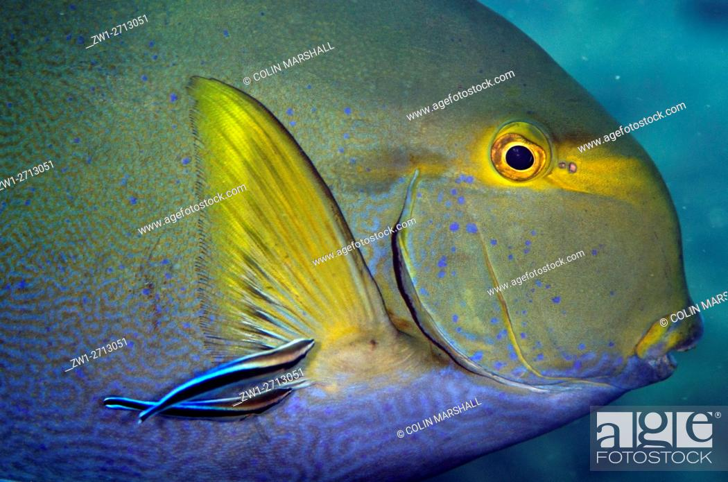 Stock Photo: Yellowfin Surgeonfish (Acanthurus xanthopterus) being cleaned by Bluestreak Cleaner Wrasse (Labroides dimidiatus), Wreck Slope dive site, Seraya, Bali.