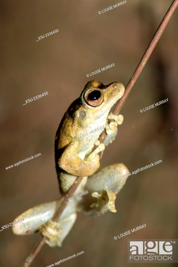 Stock Photo: Northern Laughing tree frog, or Roth's tree frog Litoria rothii, Wet tropics rainforest frog.