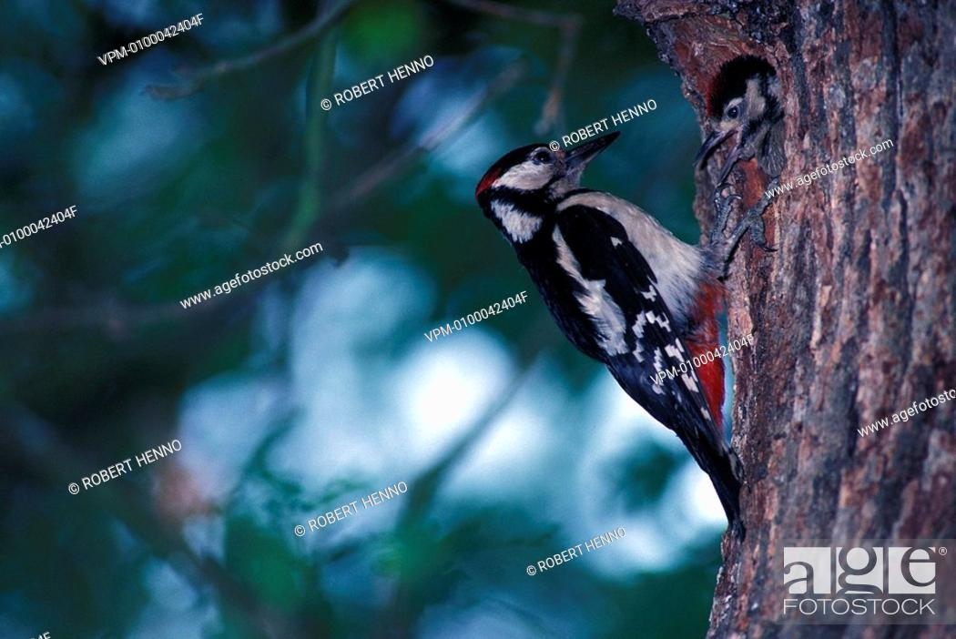 Stock Photo: DENDROCOPOS MAJOR - DENDROCOPUS MAJOR - PICOIDES MAJORGREAT SPOTTED WOODPECKERCLOSE TO THE NEST WITH YOUNG.