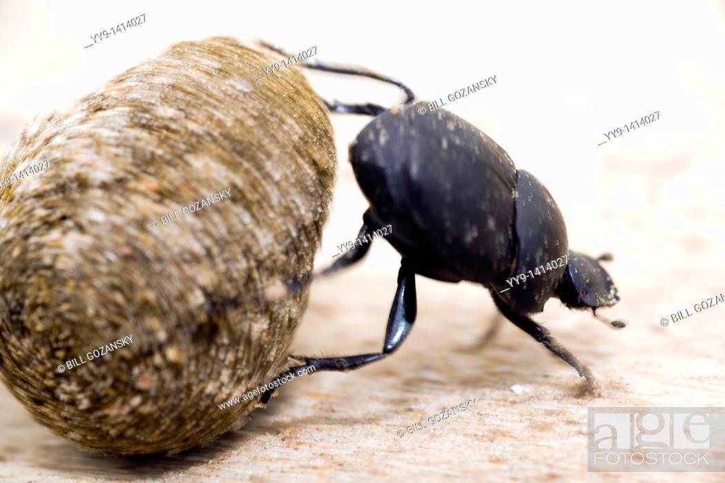 Stock Photo: Dung Beetle - Los Novios Ranch - near Cotulla, Texas USA.
