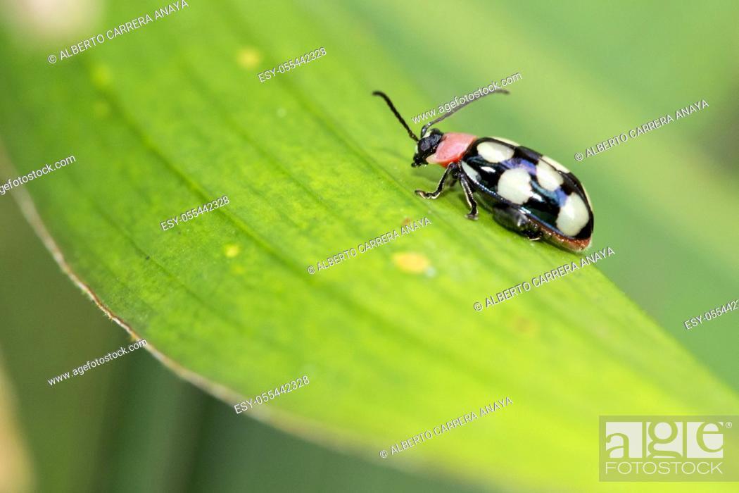 Stock Photo: Beetle, Tropical Rainforest, Costa Rica, Central America, America.