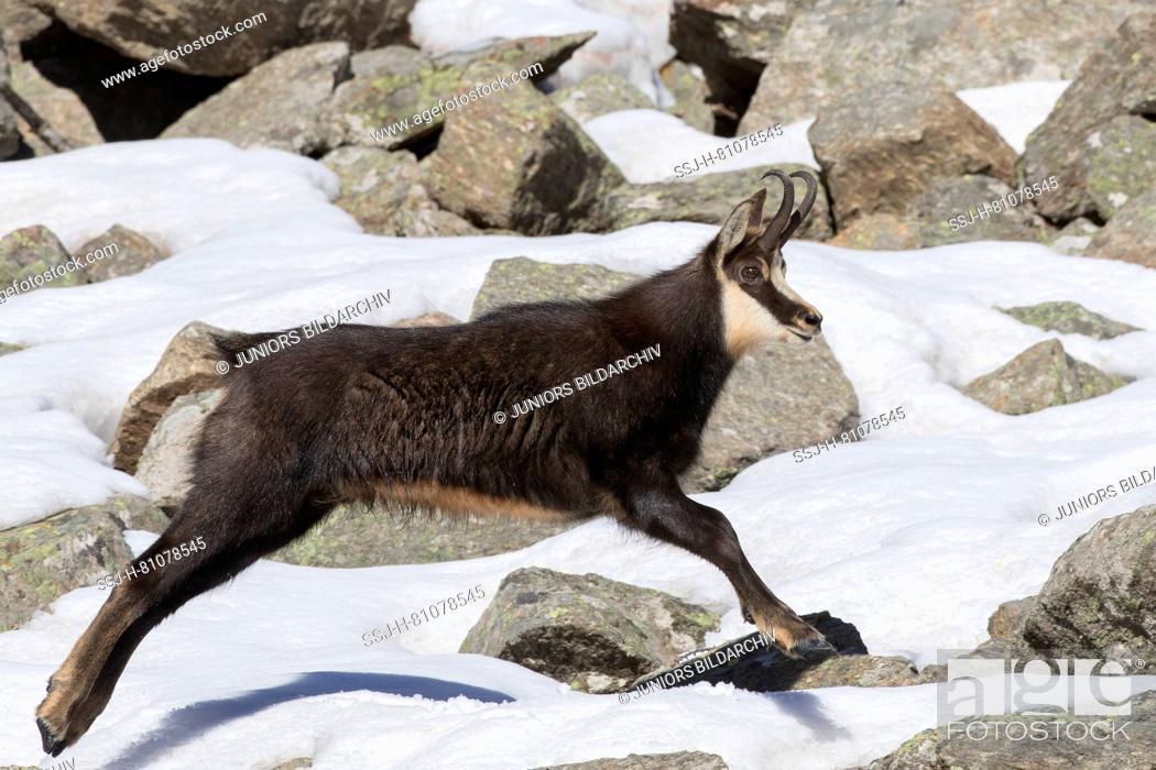 Imagen: Chamois (Rupicapra rupicapra) Male fleeing. Alpes, Italy.