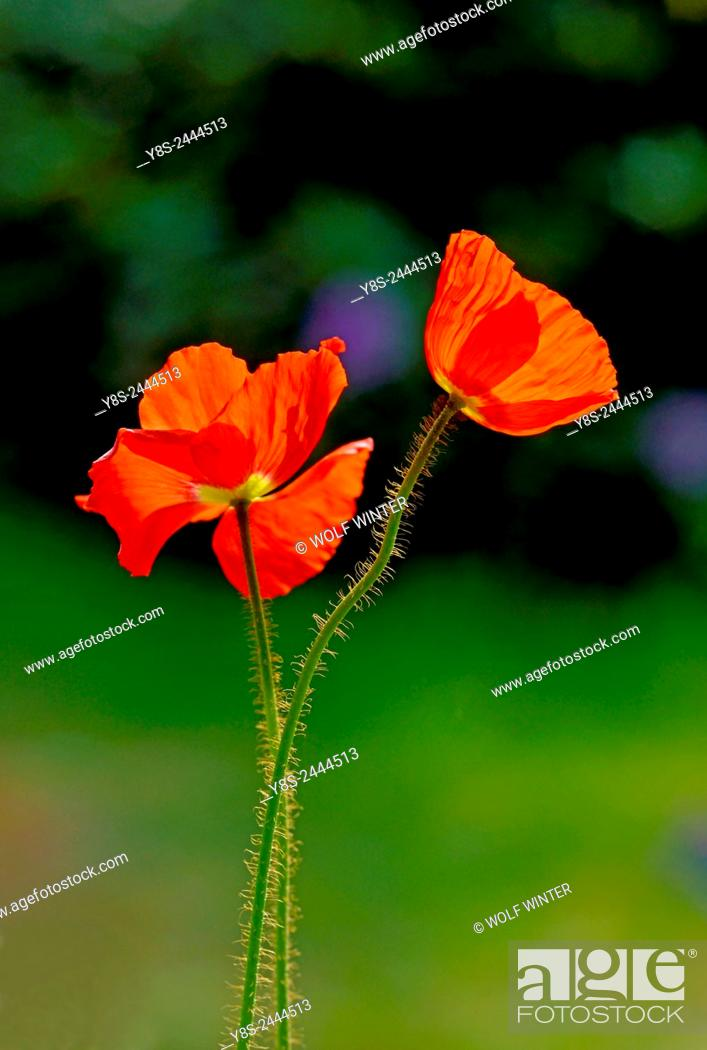 Stock Photo: Poppy Blossoms.